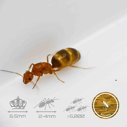 Dorymyrmex Bureni - Cone Ants