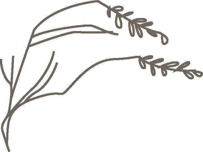 黃花茅.png