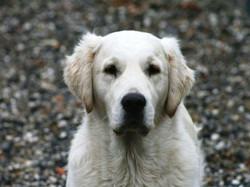 gunnerhovedunghund