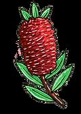 Banksia.png