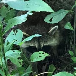 Newly released Raccoon