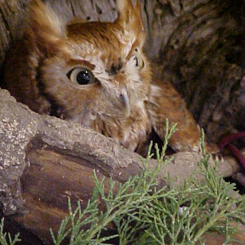 Red-phase Screech Owl