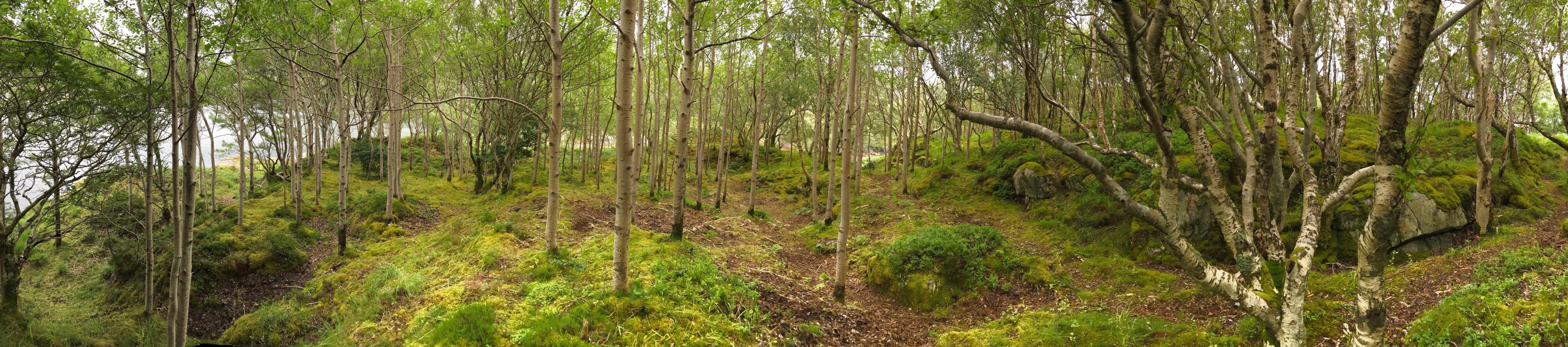 Aspen woodland Moidart