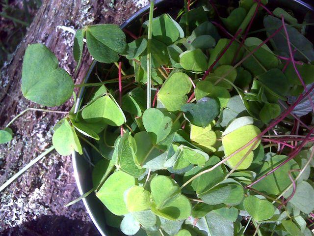 forage edible plants west coast Scot