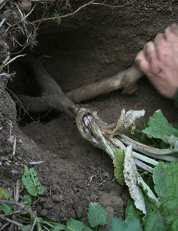 dig up wild food bare hands Sussex