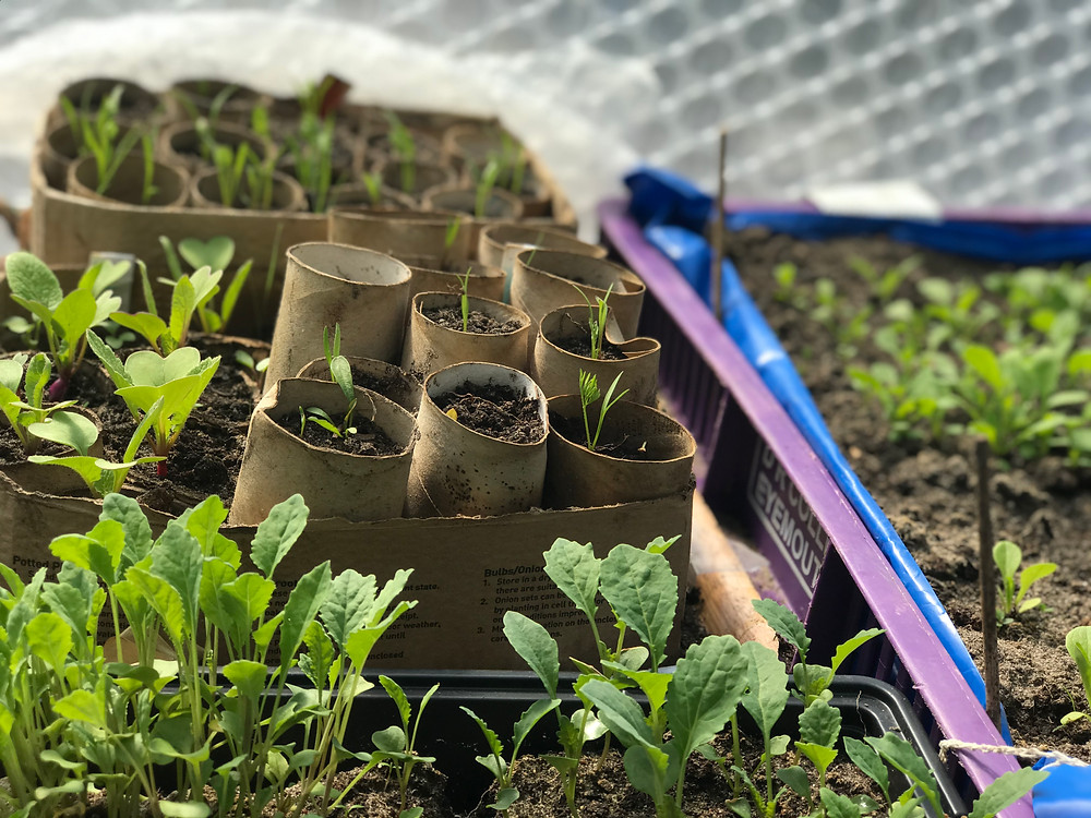 seedlings in a permaculture greenhouse