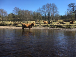 Spey canoeist meets a Highland Cow