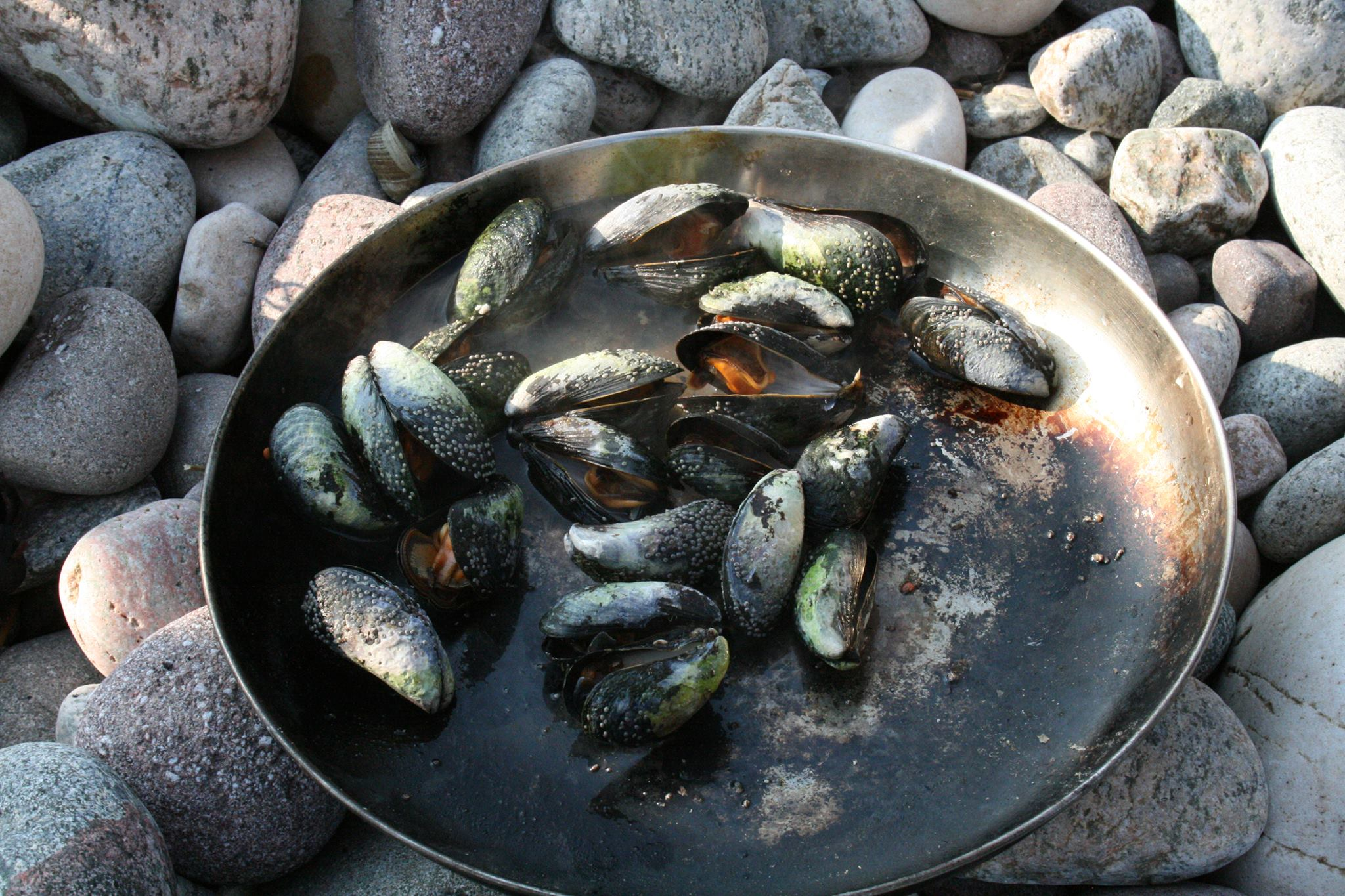Mussells foraged wild cooking shore