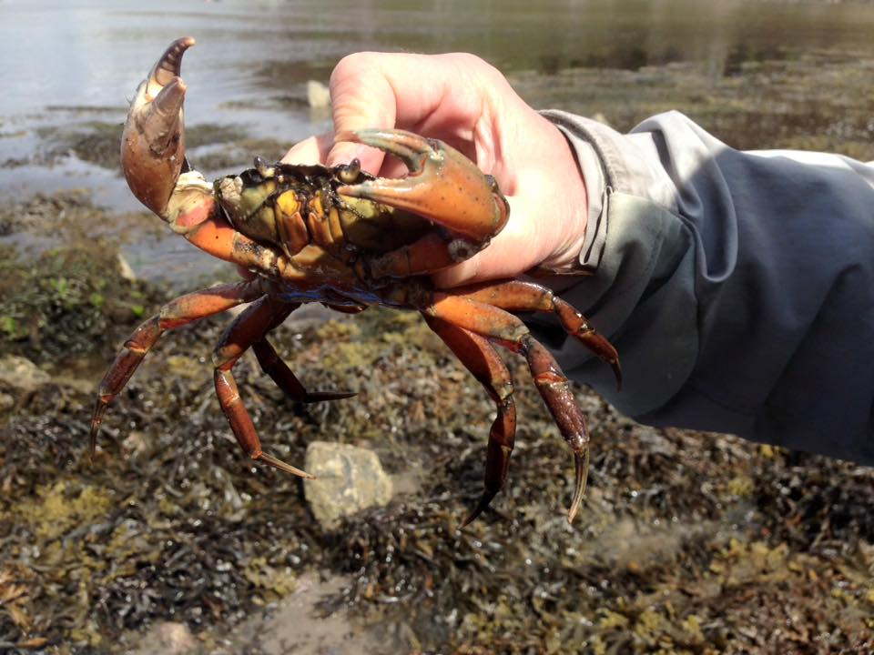 lift kreels shore crabs foraging day
