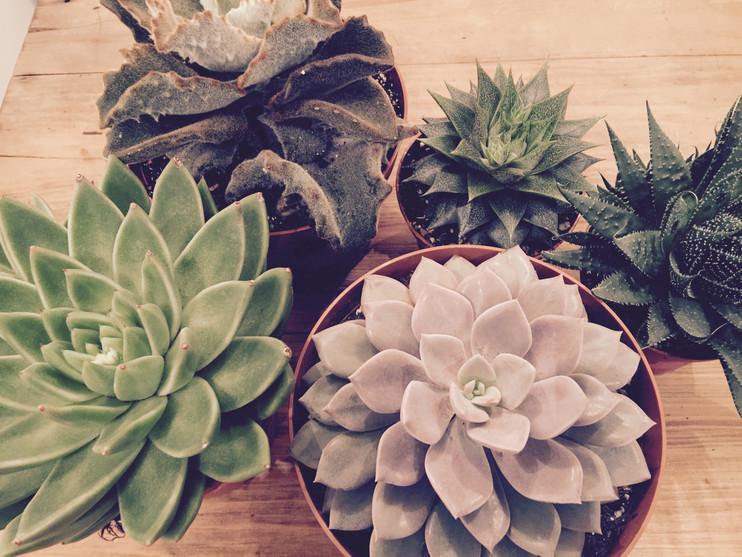 succulents 入荷
