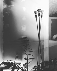 ROSANNA - LIGHT