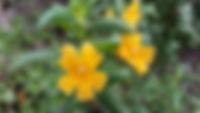 Sticky Monkey Flower - California Native Plants on Mt. Sutro
