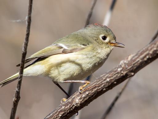 Sutro Bird Watcher: Ruby-Crowned Kinglet