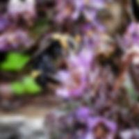 Phacelia - California Native Plants on Mount Sutro