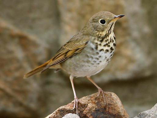 Sutro Bird Watcher: The Hermit Thrush