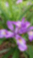 Douglas Iris - California Native Plants on Mt. Sutro