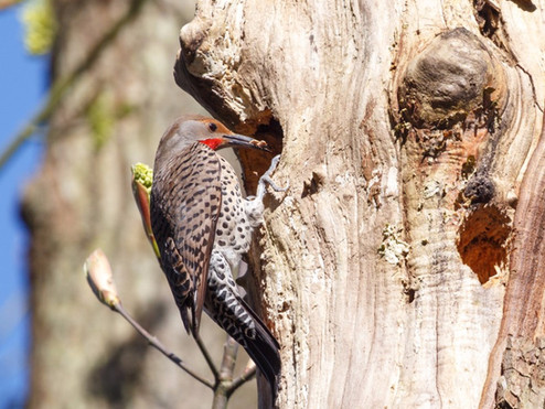 Sutro Bird Watcher: Northern Flicker