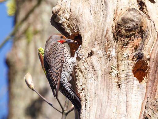 Sutro Bird Watcher: Northern Flicker