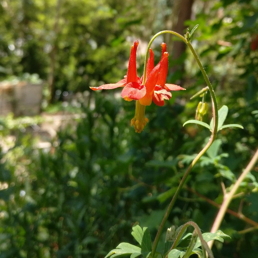 Columbine A Flower Of Meanings