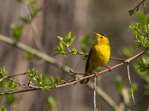 Sutro Bird Watcher: Wilson's Warbler
