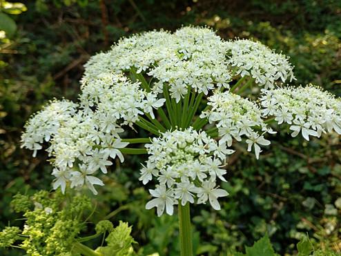 Plant Profile: Cow Parsnip (Heracleum maximum)