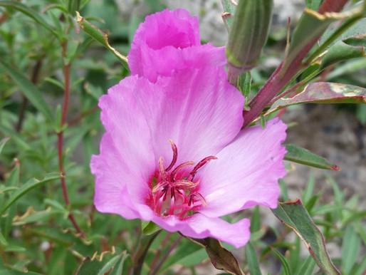 Plant Profile: Farewell To Spring (Clarkia)