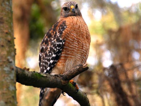 Sutro Bird Watcher: Red-shouldered Hawk