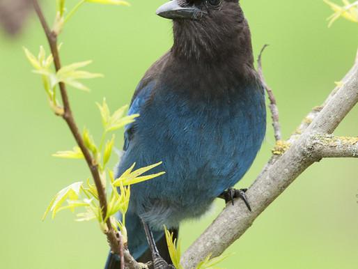 Sutro Bird Watcher: Steller's Jay & California Scrub-Jay