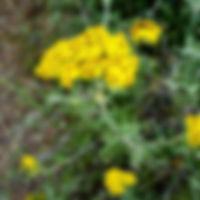 Lizard Tail - California Native Plants on Mount Sutro