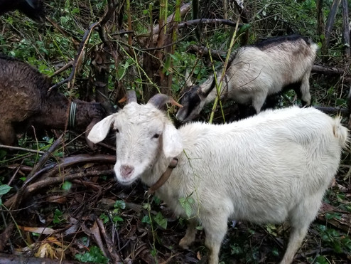 Goats & Tree Work on Mount Sutro Jan-Feb