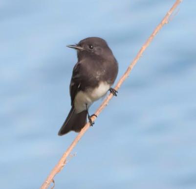 Sutro Bird Watcher: Black Phoebe