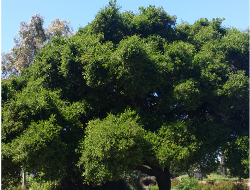 Native Trees: San Francisco's Long time Residents