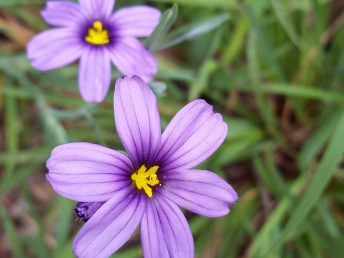 Plant Profile: Blue-Eyed Grass