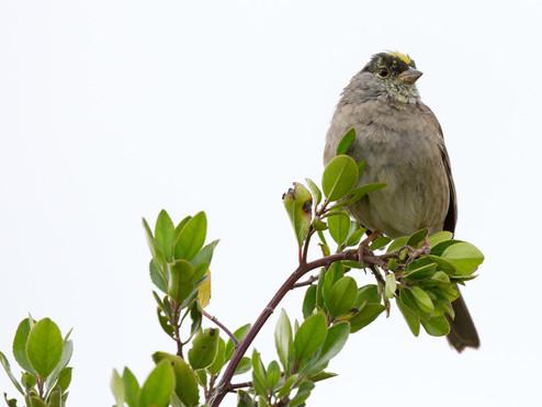 Sutro Bird Watcher: Golden-Crowned Sparrow
