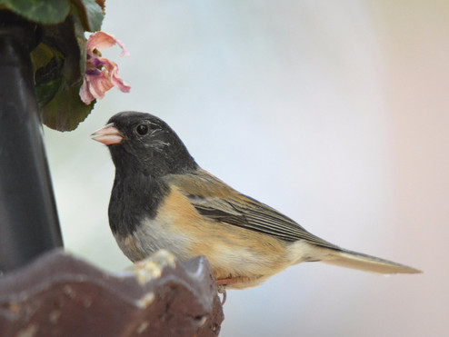 Sutro Bird Watcher: Dark-eyed Junco