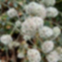 Buckwheat - California Native Plants on Mount Sutro