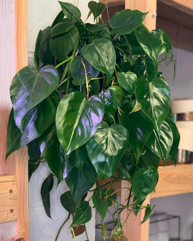 Green Heartleaf Philodendron