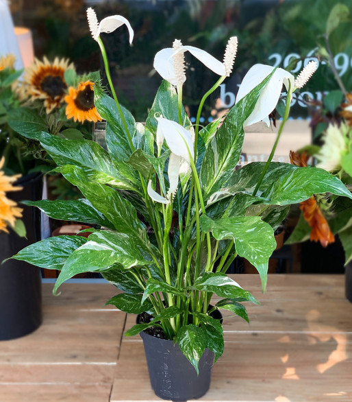Variegated Peace Lily