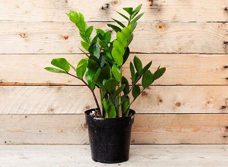 ZZ-Plant-700x700.jpg