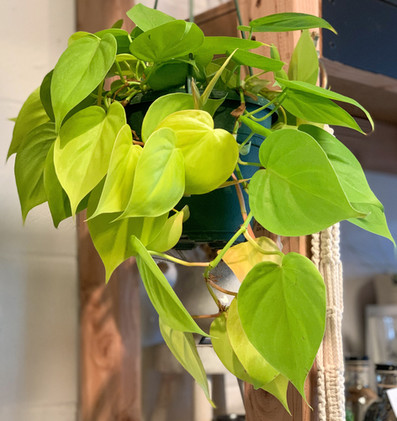 Neon Heartleaf Philodendron