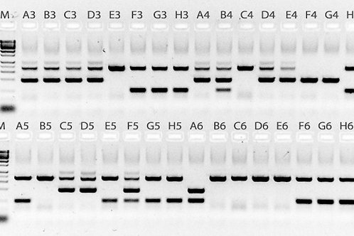 mouse genotyping kit