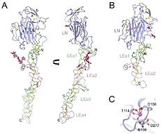Laminin structure molecules