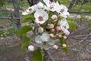 Cleveland Pear flower & bud