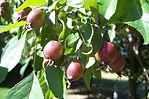 Echtermeyer Weeping Crabapple fruit