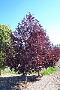 Canada Red Chokecherry tree
