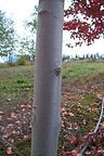 Sun Valley Maple bark