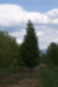 Pyramidal Mountain Ash tree