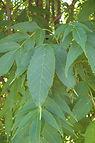 Mancana Ash leaves