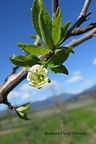 Italian Prune flower