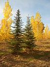 Subalpine Fir tree in fall